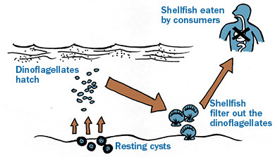 diagram of paralytic shellfish poisoning