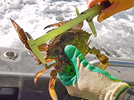A close up of a fisher measuring a blue swimmer crab