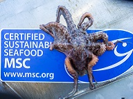 An octopus in front of the MSC certified sign