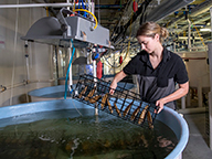 A fisheries scientist removing a tray of pearl oyster from a research tank