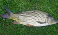 photo of a Common Carp