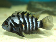 photo of a Convict Cichlid