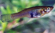 photo of a Mosquitofish