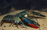 photo of a Redclaw crayfish