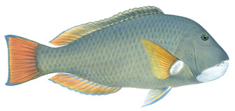 baldchin groper illustration