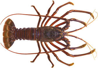 illustration of a western rock lobster