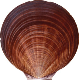 illustration of a scallop