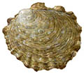 Oyster illustration