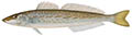 King George whiting illustration