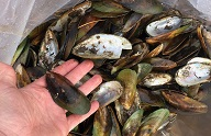 Image of person's hand holding large mussel shells with green edges