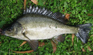 photo of a Silver Perch