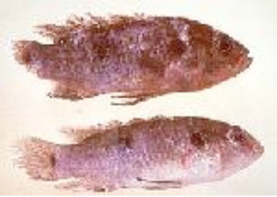 photo of a fish with tail rot skin disease