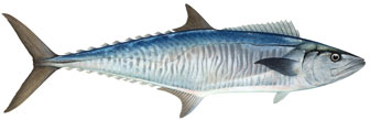 spanish mackerel illustration